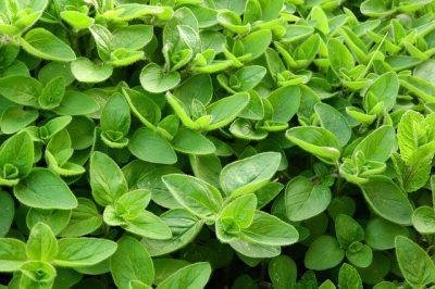 majeranek - zioła w kuchni
